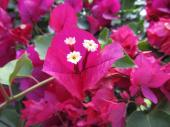 Bouganvillea, the pink is actually the leaf and the flower the small white center